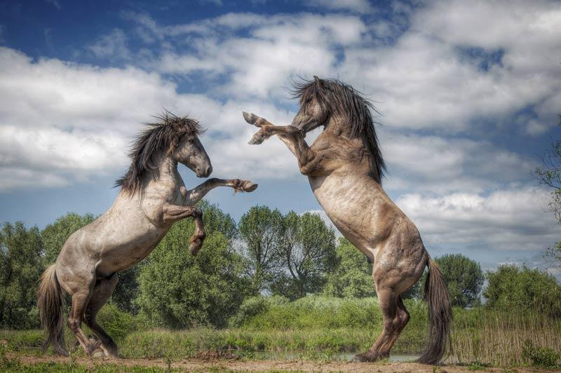 Dans la réserve naturelle de Loevenstein, aux Pays-Bas, ces deux étalons sont en pleine démonstration de force, fin novembre. Il s'agit de koniks, une race de petit cheval très rustique d'origine polonaise.