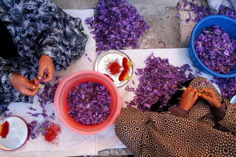 Après avoir récolté des fleurs de safran dans une ferme à Ghayen, au nord-est de l'Iran, ces femmes sélectionnent les stigmates afin de les faire sécher et de pouvoir les utiliser en cuisine, fin novembre.