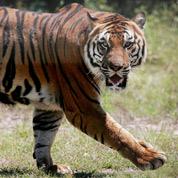 13 pays d'Asie réunis pour sauver les tigres
