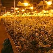 Cannabis: une production française