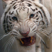 Dernière chance pour la sauvegarde du tigre