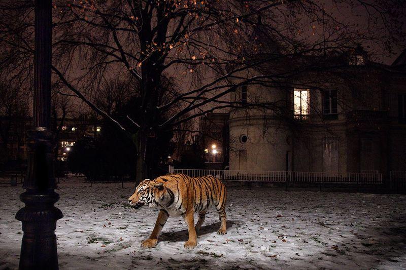 Le Tigre dans le XVIe