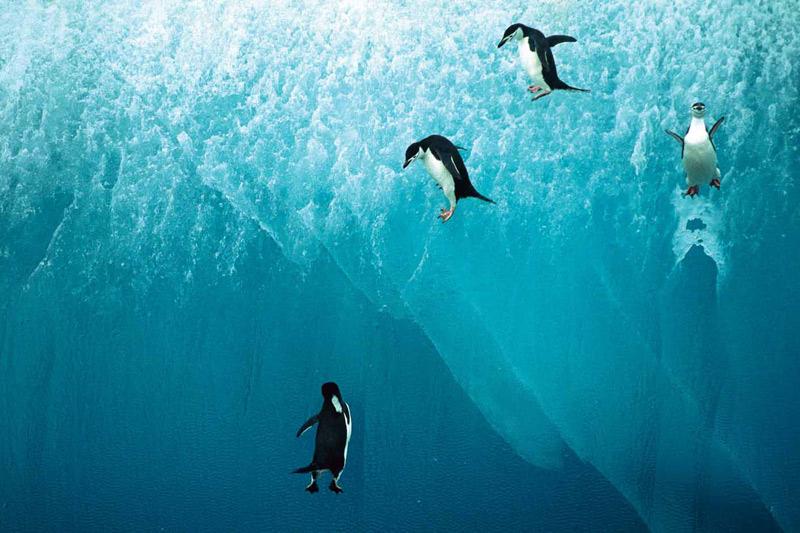 Aussi patauds sur la glace qu'agiles sous l'eau, ces quatre petits manchots à jugulaire viennent de sauter du haut d'un iceberg.