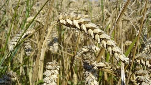 Les cours du blé ont retrouvé les sommets d'août dernier. Crédits photo: Bluemoose.