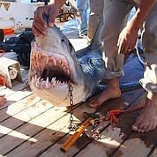 Attaques de requins en série à Charm el-Cheikh