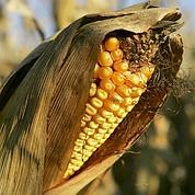 Des maïs OGM pour les paysans africains