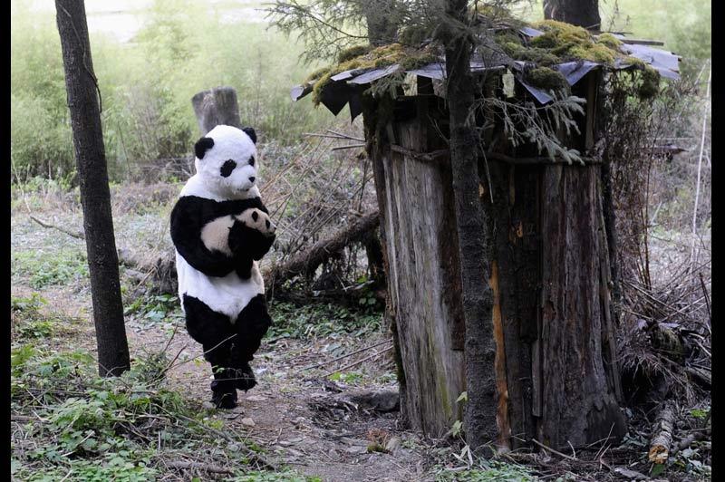 <b>BISOUNURSERIE</b>. Ce bébé panda, âgé de4mois, vient de subir un examen médical effectué par des soigneurs chinois qui n'ont pas quitté une seconde leur déguisement de peluche géante. Selon eux, tout va bien : né en semi-captivité, ce petit mâle d'une espèce en grand danger d'extinction devrait pouvoir être réintroduit, d'ici à cinq ou six ans, dans son environnement naturel. D'où la nécessité de ne pas l'habituer à la présence des hommes, en misant sur la vue notoirement médiocre de cet ursidé pour le tromper. Seul problème : les pandas sont également réputés pour avoir un odorat très fin. Et il se pourrait bien que celui-ci, à l'âge adulte, ne recherche que des femelles à l'odeur 100% acrylique !