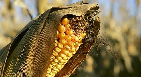 Ces variétés de maïs tolérants à la sécheresse seront introduits grâce au programme international Wema.