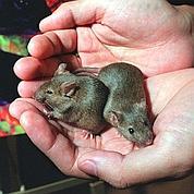 Des souris conçues à partir de deux mâles