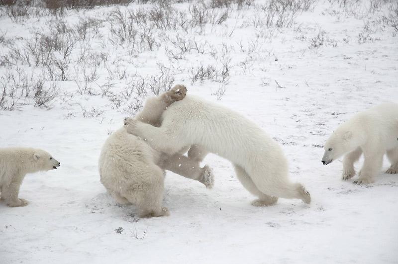 Début décembre, au Canada, ces deux ours polaires combattent dans le parc national Wapusk, qui protège l'une des plus vastes aires connues de mise bas des ours polaires du monde.