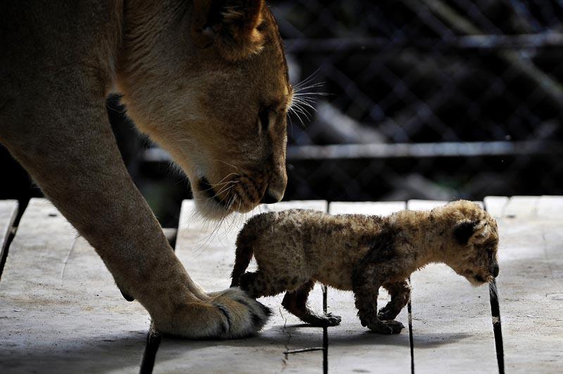Ce lionceau de trois semaines marche aux cotés de sa mère, dans le zoo de Cali, en Colombie, lundi 20 décembre.