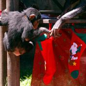 Des singes femelles jouent à la poupée
