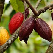 Les gènes du cacaoyer enfin en tablettes