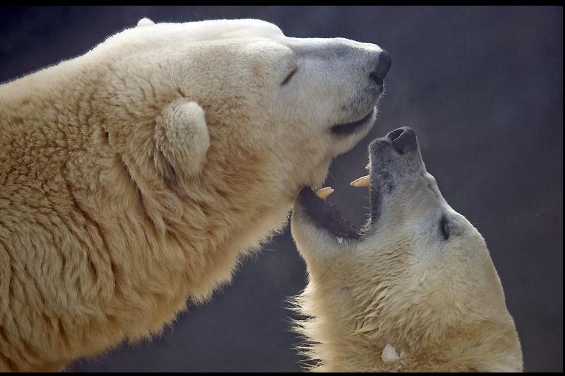 Moment insolite pour ces deux ours polaires, photographiés ici au zoo de Prague, capitale de la République tchèque, mardi 4 janvier.