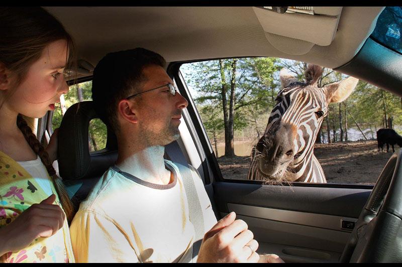 Mercredi 5 janvier, dans un parc animalier de Géorgie, au sud des États-Unis, ce zèbre, peu farouche, s'est arrêté un instant à hauteur d'un véhicule transportant un père et sa fille, comme pour les saluer.