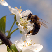 Les fleurs, foyers de virus pour les abeilles