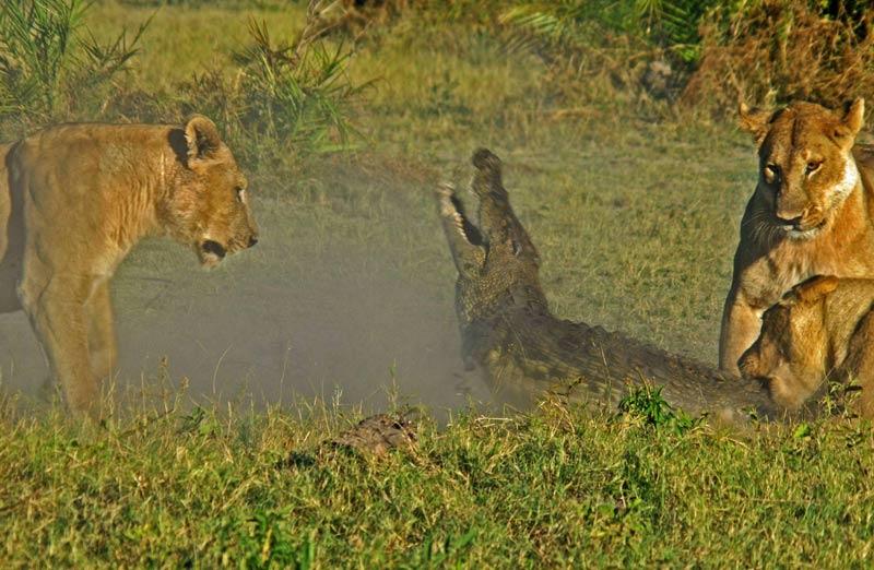 Au Botswana, il y a quelques jours, ces lionnes dévorent un crocodile qui voulait lui-même dévorer un lionceau. Tel est pris qui croyait prendre !