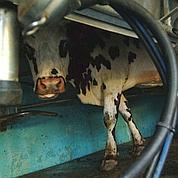 Vaches noctambules pour insomniaques