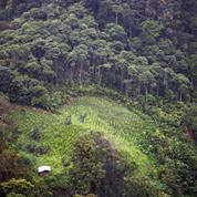 La coca grignote la forêt colombienne
