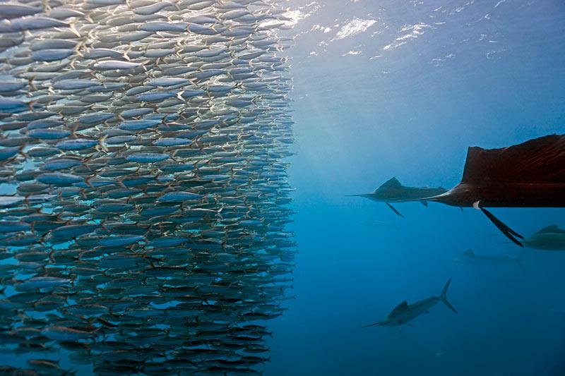 <b>DU SUSHI À SE FAIRE...</b> Panique chez les sardines au large du Mexique. Une meute de prédateurs de la famille des marlins, appelés là-bas des « voiliers de l'Atlantique » en raison de leur nageoire dorsale surdéveloppée, vient de les prendre en chasse. Et le festin, que nous avons visionné en vidéo, va tourner au carnage. Encerclées, séparées par petits groupes puis poussées vers la surface, les sardines seront croquées toutes crues, jusqu'à la dernière. Soit par leurs poursuivants, extraordinairement rapides et voraces, soit par le nuage de cormorans qui les attend pour les gober au ras des flots. Une technique de chasse en équipe qui rappelle celle des vélociraptors dans <i>Jurassic Park</i> .