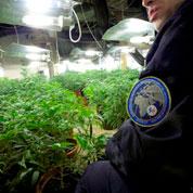 Un vaste entrepôt de cannabis découvert