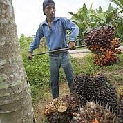 L'huile de palme, la mauvaise graisse