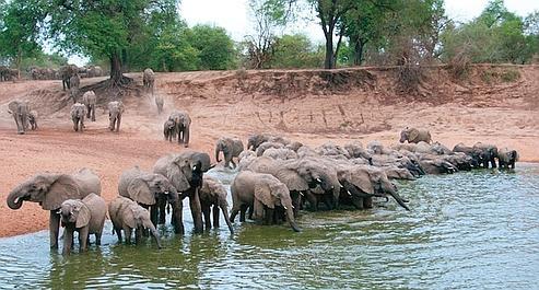 Au secours des éléphants d'Afrique