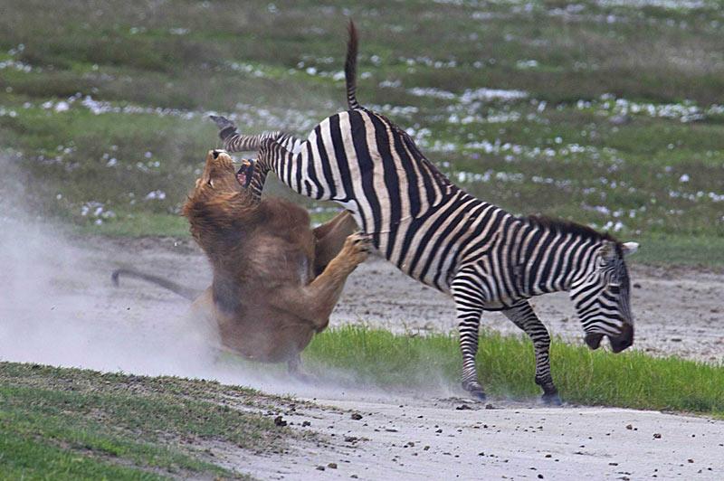 Ce zèbre a pris sa revanche sur le roi des animaux. Tout semblait perdu pour cet animal et pourtant, il a réussi à échapper au féroce appétit du lion en lui donnant un violent coup de patte en pleine gueule. Résultat : pour l'un, une légère morsure à la cuisse et, pour l'autre, une grande humiliation.