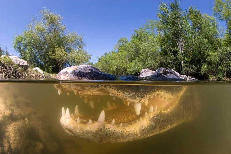 <b>Quoi ma gueule?</b> Avec un peu d'imagination, on pourrait le voir sourire entre deux eaux ou entre deux proies. À demi immergé, cet alligator de Floride (<i>Alligator mississippiensis</i>) est à l'affût. Capable de rester immobile pendant des heures, ce reptile peut atteindre jusqu'à6mètres de long. Il affectionne particulièrement les eaux douces marécageuses, mais ne dédaigne pas les rivières, les lacs et même les eaux saumâtres. On dit que sa mâchoire est l'une des plus puissantes du règne animal et, selon les croyances populaires, <i>Alligator mississippiensis</i> serait un mangeur d'hommes. En fait, il n'en est rien. Le saurien préfère de très loin les tortues, les petits mammifères, les oiseaux et les autres reptiles.
