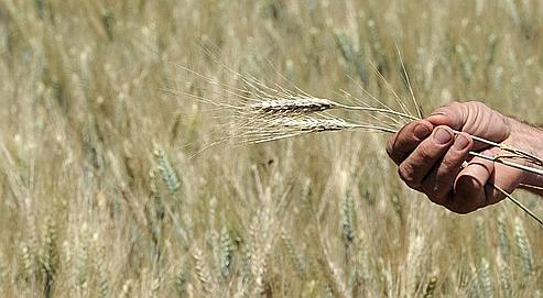 La moisson française de blé s'annonce modeste