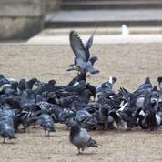 Les pigeons de Paris, bons physionomistes