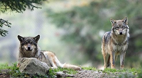 Des loups du parc national du Mercantour, dans les Alpes-Maritimes.