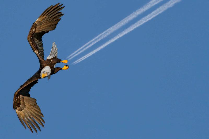 <b>Attention freinage !</b> Un aigle supersonique sorti tout droit d'un dessin animé, capable de créer des traces de freinage dans le ciel canadien a Non, le résultat de la rencontre de deux oiseaux. En levant les yeux vers les cieux, la photographe Pam Mullins, une baroudeuse de 49 ans qui vit sur la côte nord-ouest de la Colombie-Britannique, s'est retrouvée face à ce rapace en plein vol, tandis qu'un avion qui venait de passer laissait derrière lui un beau sillage. Bien que le pygargue à tête blanche soit appelé <i>bald eagle</i>, il se distingue de l'aigle par son régime alimentaire, essentiellement composé de poissons, et par le fait que ses pattes ne sont pas recouvertes de plumes jusqu'aux serres.