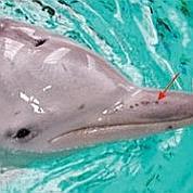 Le dauphin de Guyane possède un sixième sens