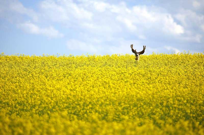 <b>Tête en l'air.</b> Mais qu'a-t-il bien pu voir a Le photographe ou un danger a Quoi qu'il en soit, ce cerf de Virginie (<i>Odocoileus virginianus</i>) a pris le risque de révéler sa position au beau milieu d'un champ de colza, au nord de Cremona, dans la province canadienne de l'Alberta. Une vision fugace... Car ce cervidé est plutôt de nature discrète, sauf en automne quand commence le rut. Une période où les mâles semblent oublier complètement leur prudence naturelle, alors que la nourriture se fait plus rare et que la course folle à la reproduction commence. Le cerf de Virginie peut atteindre 2 mètres de long et mesurer 1mètre au garrot. Un mâle pèse entre 60 et 150kilos et la femelle dépasse rarement les 70 kilos.