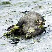 Sangliers : la piste des algues vertes se précise