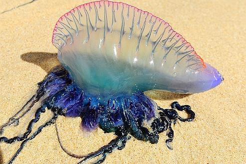 Les méfaits insoupçonnés des méduses