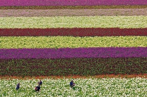 Aux Pays-Bas, des champs de fleurs, tableaux de maître. Chaque saison apporte de nouvelles variétés de dahlias pour les corsos fleuris...