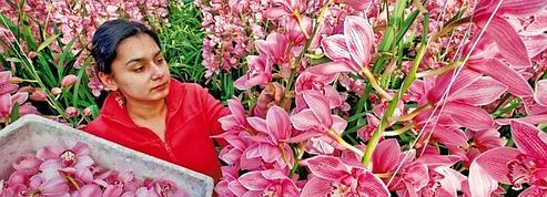 L'éclatant business des fleurs<br />&nbsp;&raquo; class=&nbsp;&raquo;photo&nbsp;&raquo; /></a></p> <p>En 2010, les cinq établissements néerlandais (Aalsmeer, Bleiswijk, Eelde, Naaldwijk et Rijnsburg) de cette coopérative ont vendu plus de 12 milliards de fleurs et de plantes, pour un chiffre d&rsquo;affaires de plus de 4,1 milliards d&rsquo;euros ! Et ce dans les salles des ventes &#8211; le marché au cadran -ou à distance, en ligne. Leur principe est simple: obtenir des produits de qualité indépendamment de l&rsquo;ingratitude de la terre ou des caprices du ciel grâce à la culture sous serre, les vendre chaque jour ouvrable au prix du marché et les distribuer dans les plus brefs délais. Qu&rsquo;ils soient implantés aux Pays-Bas (qui fournissent les trois quarts des ventes), au Kenya, en Ethiopie, en Israël, en Belgique, en Equateur, en Allemagne ou ailleurs, qu&rsquo;ils soient membres (environ 5000) ou non de la coopérative, les horticulteurs sont tenus de respecter les mêmes consignes: couper les fleurs, les entreposer en chambre froide, transmettre leurs caractéristiques par courriel à FloraHolland et les livrer prêtes à la vente &#8211; mises en bottes, les bottes placées dans des bacs et les bacs rangés dans des chariots.</p> <p>48 millions d&rsquo;unités vendues par jour</p> <p></p> <p class=