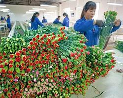 Au Yunnan, en Chine, petits producteurs et grosses sociétés cultivent l'oeillet, la rose et le gerbera.