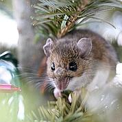 Europe : des souris résistantes aux poisons
