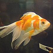 Les poissons confondent gauche et droite
