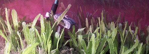 «Caulerpa taxifolia»: l'algue tueuse en voie de disparition