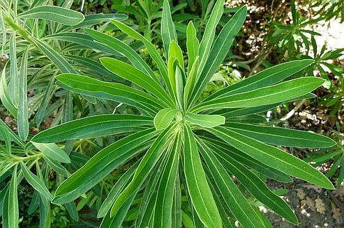 Les plantes vertes utilisent en permanence le Soleil pour transformer l'eau et le gaz carbonique (CO2) en molécules à haute valeur énergétique. (Crédits photo: Dinkum/Creative Commons)