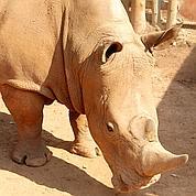 Les rhinos de Thoiry sous haute surveillance
