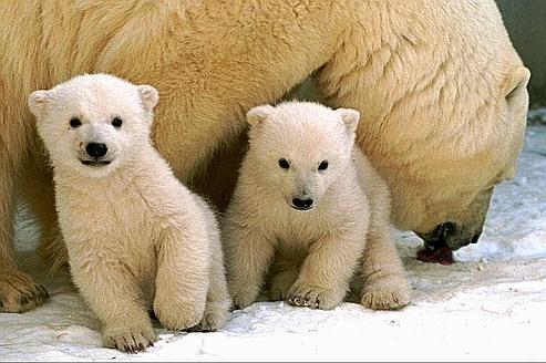 Les ours polaires font partie des premières espèces touchées par le rapetissement.