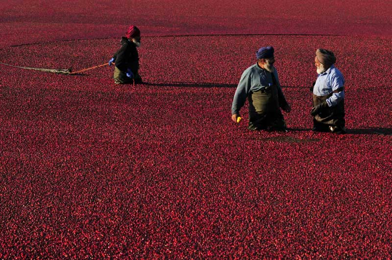 <B>Marée rouge</b>. Comme chaque année, de la fin septembre à la fin d'octobre, la récolte des canneberges est un événement au rouge spectaculaire. Et au terme de quatre années de culture, les producteurs de Richmond au Canada sont en effervescence. Cette production nécessite d'énormes quantités d'eau pour protéger les bourgeons contre le gel au printemps et à l'automne, ainsi que les plants pendant l'hiver. Le Canada en produit chaque année 79.000 tonnes sur 3950 hectares.