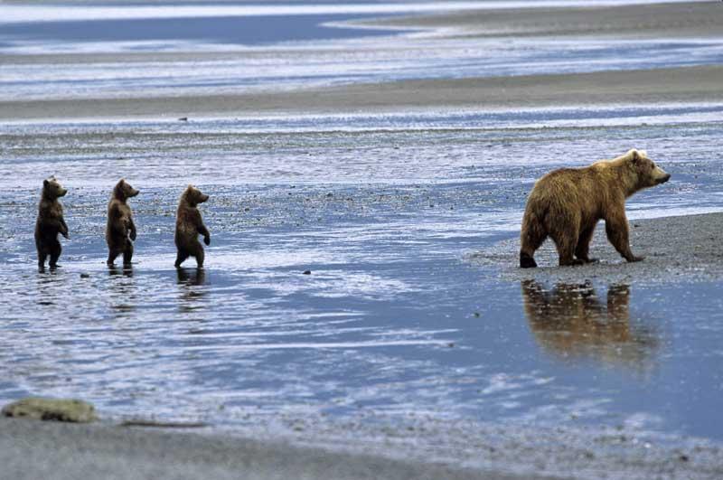 <b>La valse des oursons</b>. Ce magnifique cliché animalier a été pris dans l'un des derniers paradis pour ours bruns, le Parc national de Katmai, à l'ouest de l'Alaska. Plus de2000 plantigrades y profitent d'un gigantesque territoire, truffé de fjords, de vallées glaciaires, de toundras et de plages volcaniques, où abonde en prime leur nourriture préférée : d'énormes colonies de saumons roses du Pacifique, qu'ils s'amusent à happer dans le courant lorsque ces poissons remontent les rivières. D'où l'incroyable sérénité que trahit la posture des trois oursons : on ne sait pas ce qui attire leur attention, mais on devine qu'ils n'ont jamais rien eu à redouter ni de la nature ni des hommes.