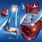 Greffes d'organes animaux: où en est-on ?