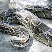 Le python a le cœur «gros» quand il mange